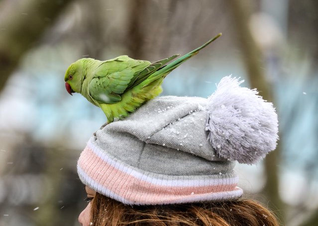 A parakeets lands on a woman's head at St James' Park in London, United Kingdom on February 9, 2021. London has been experiencing snow as the Storm Darcy hits the city. (Photo by Brett Cove/SOPA Images/Sipa USA)