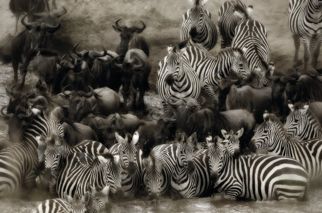 Confusion reigns as herds of zebra contemplate crossing the Mara River in Kenya. (Photo by Alex Bernasconi)