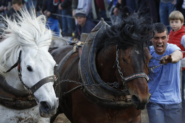 A Bosnian man urges on his  horses to pull logs up  a hill during competition in the Bosnian town of Sokolac 50 kms west of Sarajevo, Bosnia,on Monday, April, 13, 2015. (Photo by Amel Emric/AP Photo)