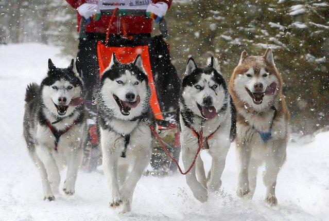 "Siberian Huskies pull a contestant during the ""Kara-Dag 2016"" open amateur dog sled and skijoring race near the village of Yelovoye in Taiga district, outside Krasnoyarsk, Siberia, Russia, February 21, 2016. (Photo by Ilya Naymushin/Reuters)"