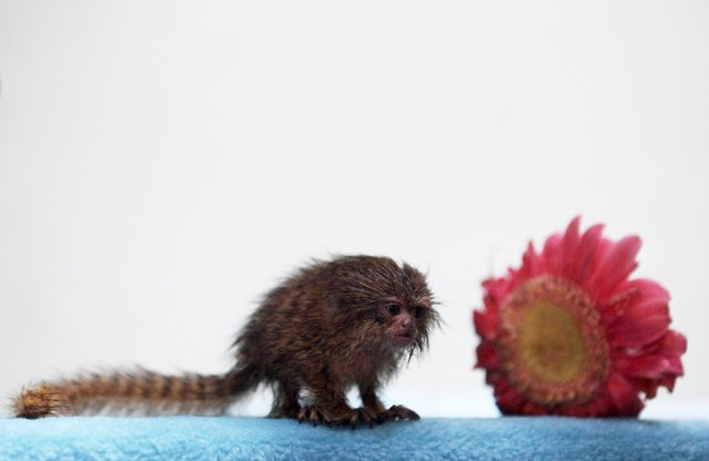A Pygmy Marmoset (Callithrix pygmaea) is seen at a primate rescue and rehabilitation center near Santiago August 3, 2010. The Pygmy Marmoset is known as the world's smallest monkey and is in danger of extinction. (Photo by Ivan Alvarado/Reuters)