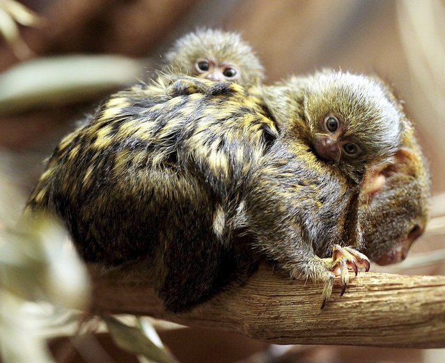 A handout picture dated 14 October 2013 shows two newborn pygmy marmosets on the back of a parent at the Wilhelma in Stuttgart, Germany. (Photo by Thomas Hoerner/EPA)