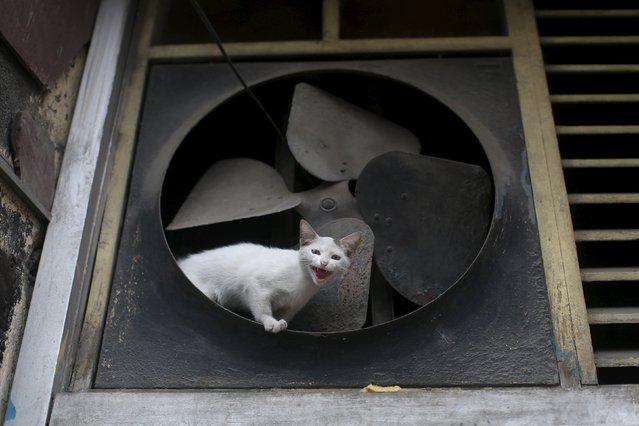 A cat mews as it sits near an old fan in downtown Havana, February 23, 2016. (Photo by Alexandre Meneghini/Reuters)