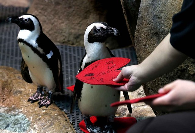 An African Penguin pulls a Valentine's Day card from California Academy of Sciences senior biologist Jarrod Willis at the California Academy of Sciences on February 13, 2014 in San Francisco, California. In honor of Valentine's Day, the colony of African Penguins at the California Academy of Sciences received heart-shaped red valentines with hand written messages from Academy visitors. (Photo by Justin Sullivan/AFP Photo)