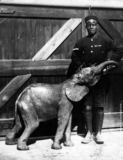 New arrivals at London Zoo; a baby African elephant in the care of a policeman, both from Sierra Leone, 1950