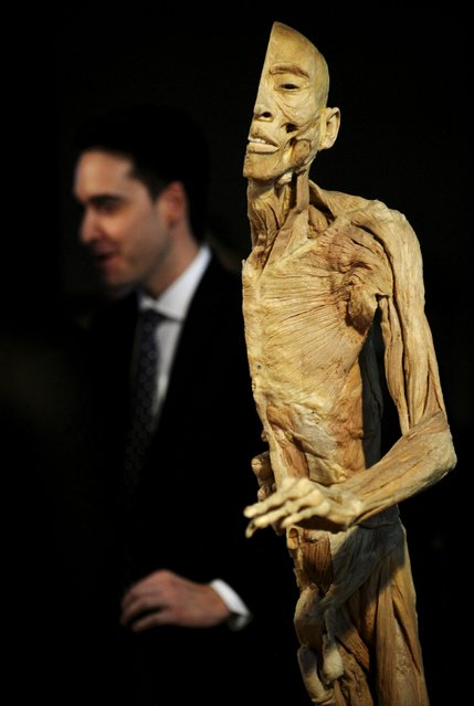 "A visitor looks at a plastinated human body during a press preview prior to the opening of ""Human Bodies"" exhibition in Oviedo, Spain, May 7, 2015. (Photo by Eloy Alonso/Reuters)"