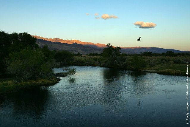 A great blue heron flies at dusk over the lower Owens River before it empties into Owens Lake