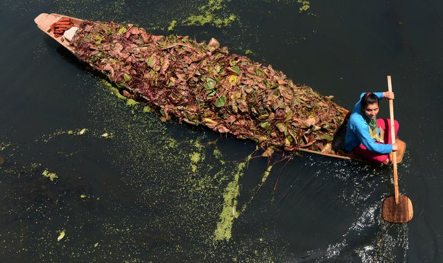 A Kashmiri woman rows a boat carrying lotus leaves, to be used as food for livestock, across Dal Lake in Srinagar on May 21, 2015, during a one day strike called by senior seperatist leader Mirwaiz Umar Farooq. (Photo by Tauseef Mustafa/AFP Photo)
