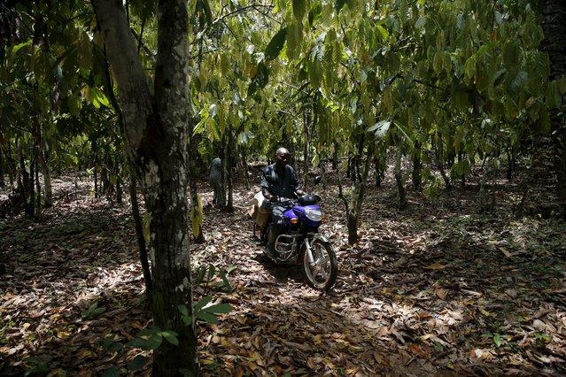 Cocoa farmer Ebenezer Akinmade, 56, rides a motocycle through a cocoa farm in Ile-Oluji village in Ondo state, southwest Nigeria March 29, 2016. (Photo by Akintunde Akinleye/Reuters)