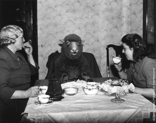 1949: Farmer Mrs Maud Lee and her daughter Pat enjoy elevenses at their farmhouse in Keynsham, near Bristol, with their pet lamb Betty
