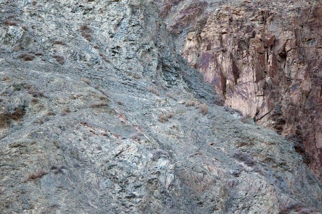 And the best of the lot: Can you spot the snow leopard camouflaged against the mountain? (Photo by Caters News)