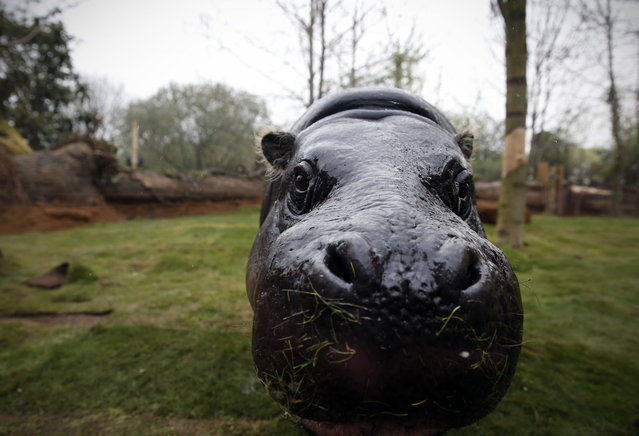 Thug, a 17-year-old pygmy hippo, moves around in a new enclosure equipped with solar panels at London Zoo in London on April 3, 2014. Often mistaken for its larger cousin, the pygmy hippo is much smaller than the common hippopotamus, they have a smaller head and eyes with ears to the side of the head. Classed as endangered, pygmy hippos are under constant threat from poaching and habitat-loss in the wild. (Photo by Adrian Dennis/AFP Photo)