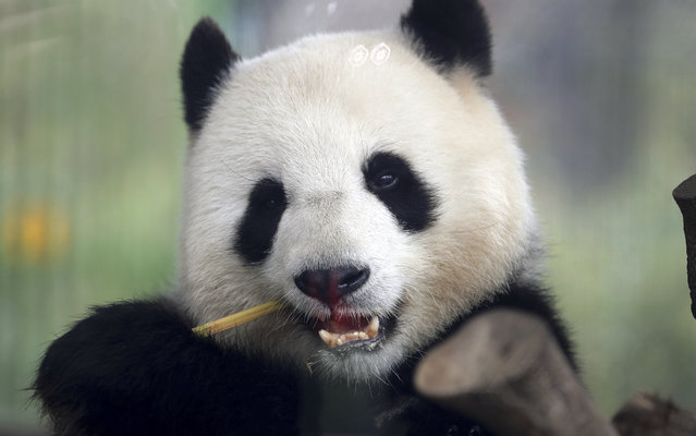 In this Friday, April 5, 2019 file photo taken trough a window female panda Meng Meng eats bamboo at its enclosure at the zoo in Berlin, Germany. The Berlin zoo announced that Meng Meng is probably pregnant after an artificial insemination several months ago. (Photo by Michael Sohn/AP Photo/File)