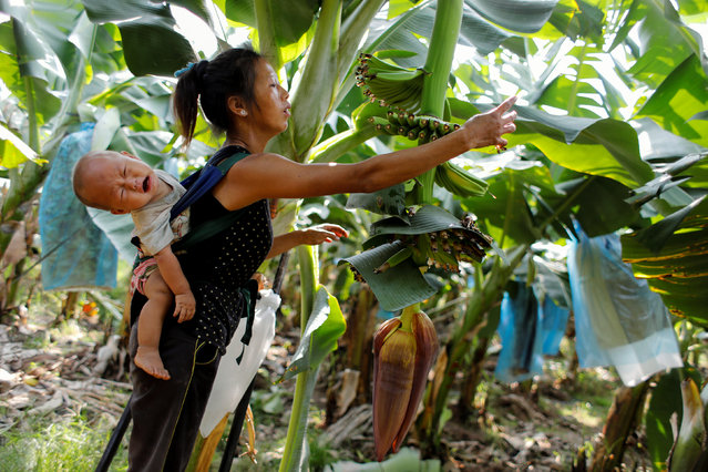 On Keo Wa, 25, carries her 9-month-old baby while working at a banana plantation operated by a Chinese company in the province of Bokeo in Laos April 24, 2017. (Photo by Jorge Silva/Reuters)