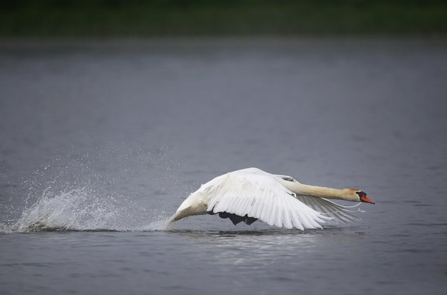 A swan takes off from a lake on a foggy day near the village of Vyazyn, 65 km ( 40 miles ) north of the capital Minsk, Belarus, Wednesday, May 25, 2016. (Photo by Sergei Grits/AP Photo)