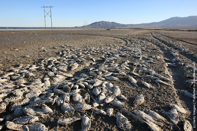 Dead tilapia fish rot on the mud of the shore of the Salton Sea in an area where a controversial development would create a new town for nearly 40,000 people on the northwest shore of the biggest lake in California, the Salton Sea