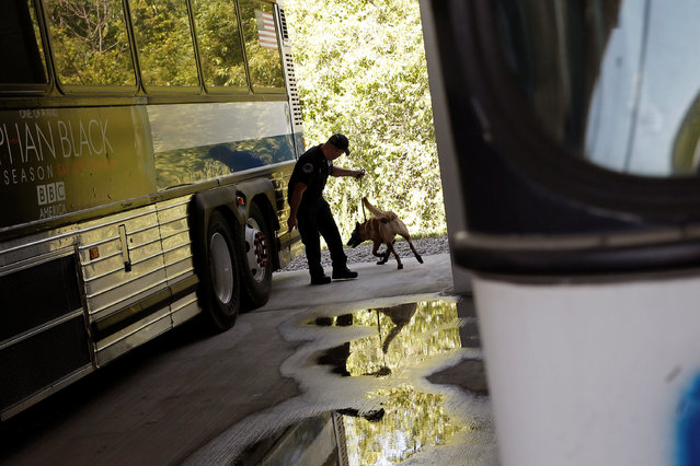 Metropolitan Transit Authority (MTA) Police Officer Daniel McCade and his K-9 partner Droga, a Belgian Malinois, work during a simulated bomb search near dedicated MTA busses permanently installed for training at the new MTA Police Department Canine Training Center in Stormville, New York, U.S., June 6, 2016. (Photo by Mike Segar/Reuters)