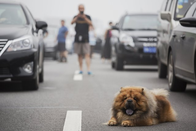 A dog and other travellers wait for the highway from Beijing to China's Hebei Province to reopen after in was closed due to low visibility, on a heavy polluted morning August 3, 2015. (Photo by Damir Sagolj/Reuters)
