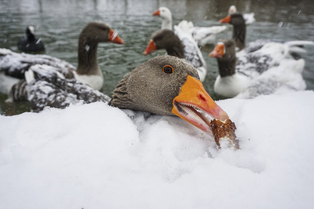 A goose eats a piece of a simit on snow covered lakeside during winter season at Goksu Park in Ankara, Turkey on January 06, 2020. (Photo by Halil Sagirkaya/Anadolu Agency via Getty Images)