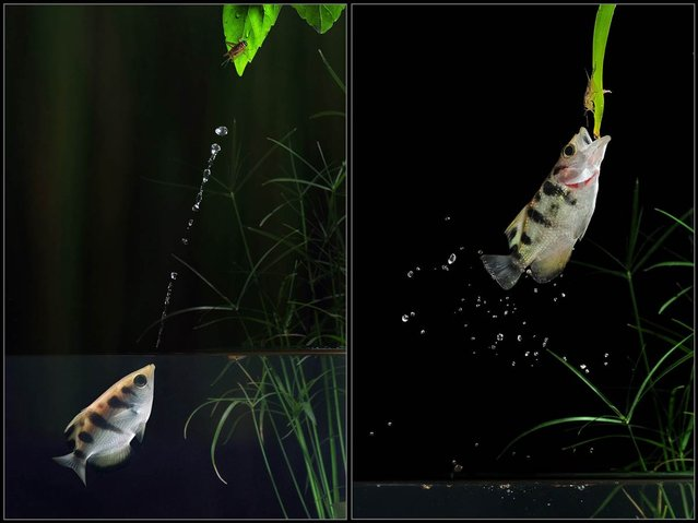 In the first photo, left, a predatory archer fish displaces a cricket from its perch over the waterline by squirting a jet of water. In the photo on the right, the fish breaches to devour the cricket