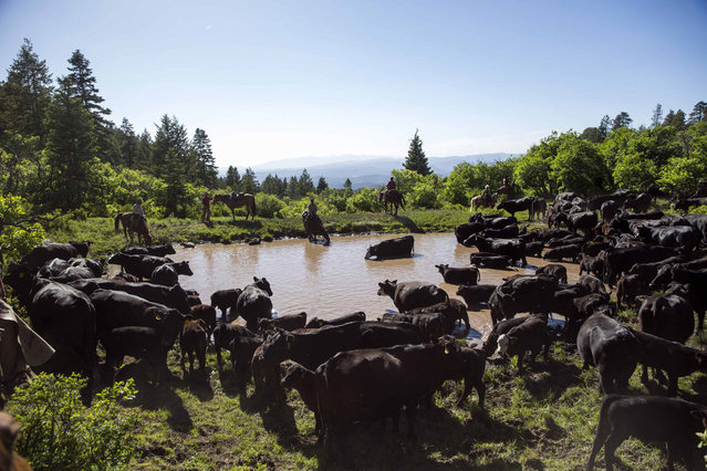 Cattle cool down and drink water at a man-made reservoir in the mountains near Ignacio, Colorado June 11, 2014. (Photo by Lucas Jackson/Reuters)