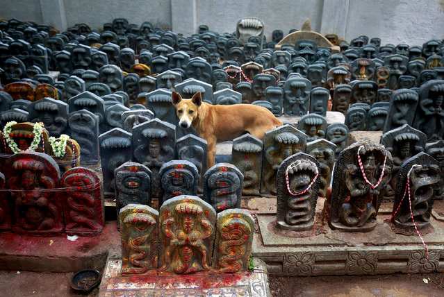 A stray dog stands amidst consecrated idols of snakes during the Hindu festival of Nag Panchami, which is celebrated by worshipping snakes to honour the serpent god, inside a temple on the outskirts of Bengaluru, India, July 27, 2017. (Photo by Abhishek N. Chinnappa/Reuters)