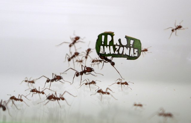 """Ants carry a leaf with a slogan reading """"!Pro! Amazon"""" at the zoo in Cologne, Germany August 18, 2015. (Photo by Ina Fassbender/Reuters)"""