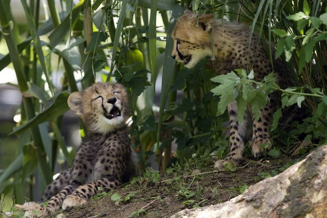 Two 3-month-old cheetah cubs get some shade from the heat at the National Zoo in Washington, D.C., on July 28, 2012. (Photo by Jacquelyn Martin/AP)