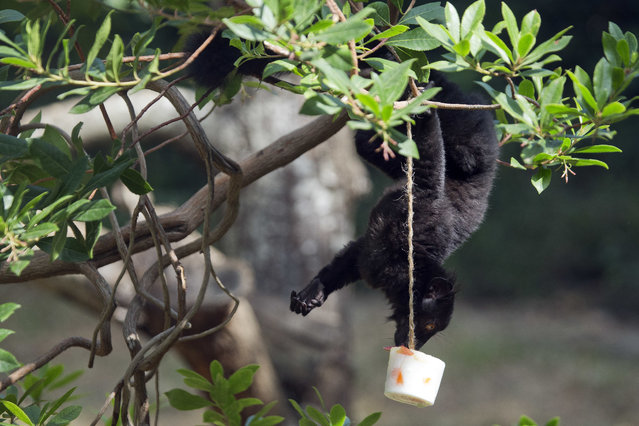 A black lemur licks a block of frozen yogurt and fruit to refresh itself in Rome's Bioparco zoo, Wednesday, July, 13, 2016. (Photo by Andrew Medichini/AP Photo)