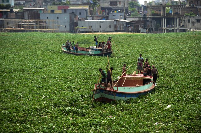 Bangladeshi boatmen navigate through dense water hyacinths over the Buriganga river in Dhaka on August 21, 2014. Water hyacinths, an invasive plant species, can quickly cover huge swathes of water bodies which hampers the movements of boats. (Photo by Munir Uz Zaman/AFP Photo)