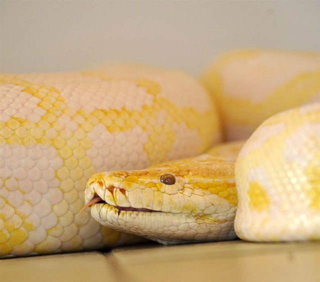 Banana, a 16-foot female albino Burmese python gets readjusted to her old surroundings on the floor of a bathroom at the home of Jana and Gary Saurage in Beaumont, Texas, on September 17, 2012. She went missing from her cage at Fannett wildlife park for more than five months, and a new enclosure is now being built for her. (Photo by Dave Ryan/AP Photo)