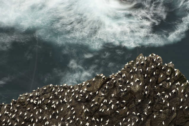 Hundreds of gannets rest on a cliff above the sea, 2014, in Shetland, Scotland. (Photo by Richard Shucksmith/Barcroft media)