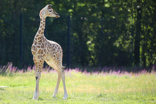 """Henry, a newborn Rothschild's giraffe (Giraffa camelopardalis rothschildi) calf, frolics inside his enclosure at the """"Tierpark Berlin"""" zoo in Berlin, Germany, 16 June 2020. The 11-day-old male was born on 05 June and already measures around 2 meters (6 feet and 6.7 inches) in height and weighs an estimated 60 kilograms (132 pounds). (Photo by Omer Messinger/EPA/EFE)"""