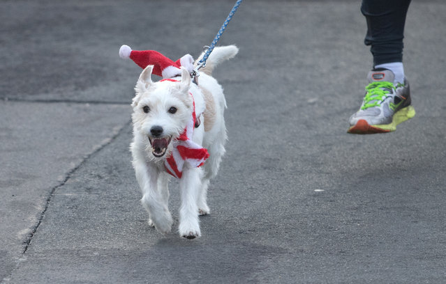 A dog wears a Santa hat and scarf during the traditional Santa Claus run in Michendorf, eastern Germany, on December 10, 2017. (Photo by Ralf Hirschberger/AFP Photo/DPA)