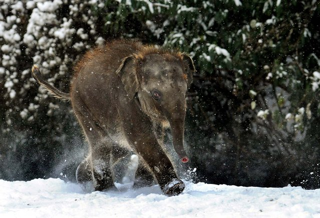 A baby elephant takes a walk in the snow at the zoo in the northern German city of Hanover on December 3, 2010. (Photo by Holger Hollemann/AFP Photo)