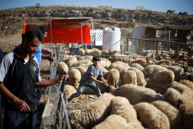 A boy displays a sheep to the customers at a livestock, ahead of the Eid al-Adha festival, in Amman, Jordan September 11, 2016. (Photo by Muhammad Hamed/Reuters)