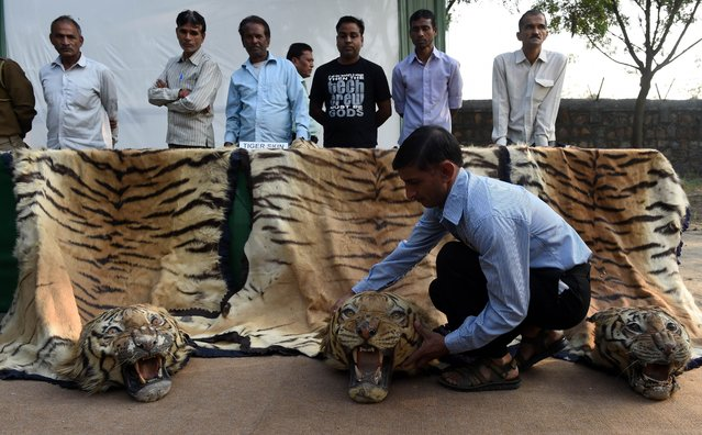 Tiger skins are displayed at the National Zoological Park in the Indian capital New Delhi on November 2, 2014. The Ministry of Environment, Forest and Climate Change destroyed illegal wildlife artifacts including animal skins during an event highlighting the environment and the illegal trade in animal products. (Photo by Sajjad Hussain/AFP Photo)