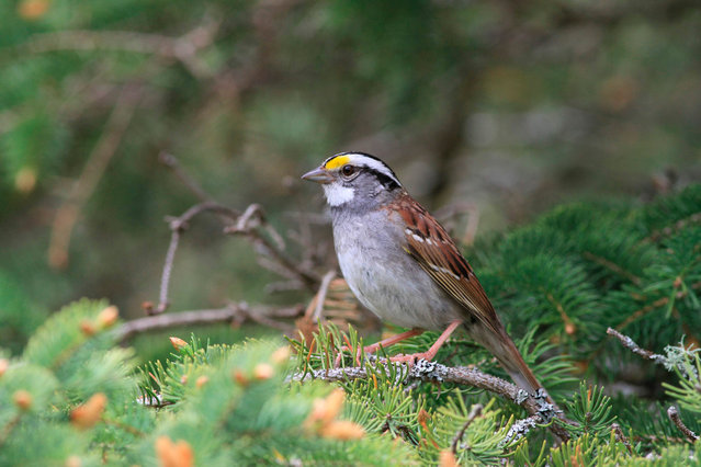 """This undated handout image obtained July 2, 2020 shows the white-throated sparrow. In the 1950s, bird lovers in Canada easily recognized the song of the white-throated sparrow, a kind of Canadian sparrow, thanks to the three final notes of its song, repeated several times.Words even accompanied them: """"Oh my sweet, Ca-na-da, Ca-na-da, Ca-na-da"""". But at the end of the last century, biologists noticed that local birds were starting to innovate in western Canada: instead of the triplet ending, their song ended with a series of two notes, duolets, a little syncopated, as if the end had become: """"Ca-na, Ca-na, Ca-na"""". (Photo by Scott M. Ramsey/AFP Photo)"""