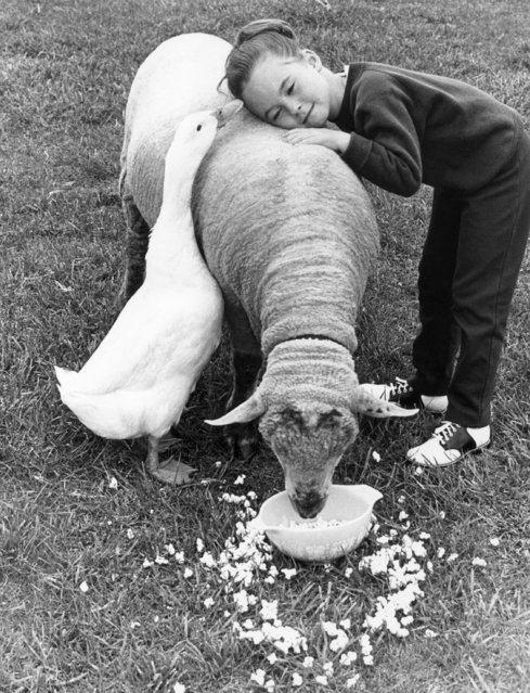 While Daffy the duck and Elisa Baltes get chummy topside, Romeo the lamb concentrates on the bowl of popcorn on the lawn of the William Baltes home in Sandusky, Ohio, June 8, 1967. Daffy and Romeo are buddies, always together. And Daffy shares Romeo's taste for popcorn. (Photo by AP Photo)