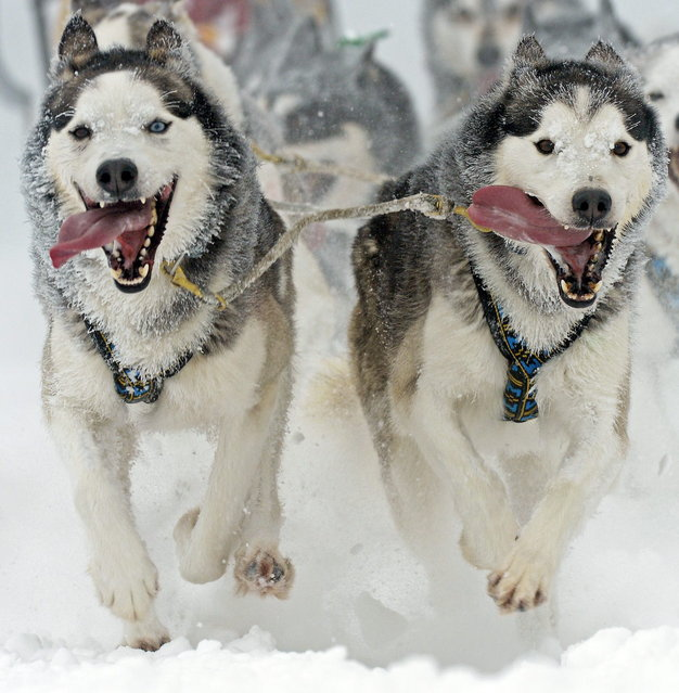 Sled dogs run at the 23rd International Sled Dog Race in Oberhof, central Germany, Sunday, February 24, 2013.  (Photo by Jens Meyer/AP Photo)