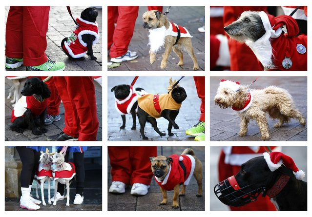 A combination photograph shows dogs waiting to run with their owners in an annual charity Santa fun run in Loughborough, central England December 7, 2014. (Photo by Darren Staples/Reuters)
