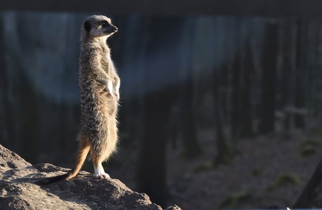 A meerkat enjoys the sunshine at Manor House Wildlife Park in Tenby, Wales November 2, 2015. (Photo by Rebecca Naden/Reuters)
