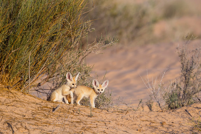 Fennec pups photographed while playing out of the den in full daylight. Young fennecs are usually born at the end of March and start exploring their surroundings in May. In case of disturbance, the mother can immediately move her pups to another burrow. (Photo by Bruno D'Amicis/Fritz Pölking Prize/GDT EWPY 2015)