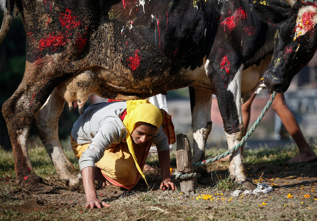 A Nepalese Hindu passes under a cow during the Gai Puja, also known as the Cow Worship Day, as part of the Tihar festival in Kathmandu, Nepal, 30 October 2016. The Tihar festival is the second most important event for Nepalese Hindus. During the celebration people worship cows, considered to be the incarnation of Lakshmi, Hindu goddess of wealth, fortune and prosperity. (Photo by Narendra Shrestha/EPA)