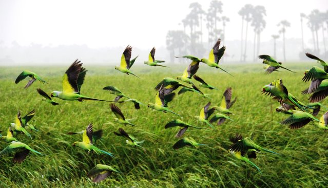 """Flying Parrots From Paddy Field "". This photo captured 30th december 2012, at paddy field in jaffna. Jaffna, city and capital of northern part of the sri lanka. Early morning,i walked along the paddy field with my cannon 600d camera to take some photos of migrating birds,luckily got the chance to take this wonderful moment. Location: Jaffna , Srilanka. (Photo and caption by Muraleetharan Rajasuntharam/National Geographic Traveler Photo Contest)"
