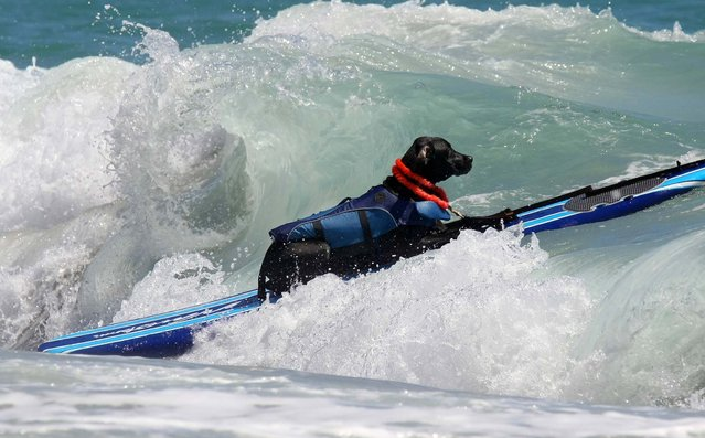 Gator surfs in the medium sized dog division. (Photo by Taylor Jones/The Palm Beach Post)