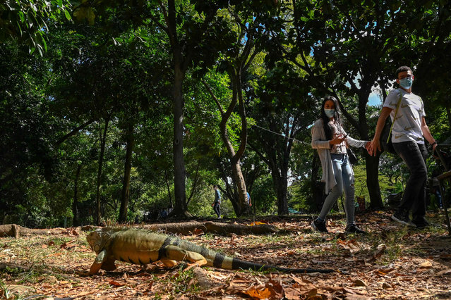 A couple walks by an iguana as they enjoy the afternoon at the Botanic Garden, amid the COVID 19 pandemic, in Medellin, Colombia, on February 7, 2021. (Photo by Joaquin Sarmiento/AFP Photo)