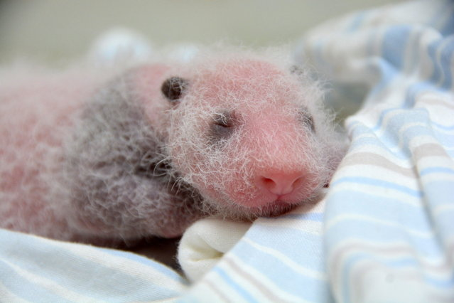 This undated handout photograph released by Taipei City Zoo on July 17, 2013 shows recently born panda cub of giant panda Yuan Yuan in an incubator at Taipei Zoo in Taipei. (Photo by AFP Photo/Taipei City Zoo)