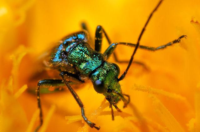 Thick-legged flower beetle. (Photo by Boris Godfroid)
