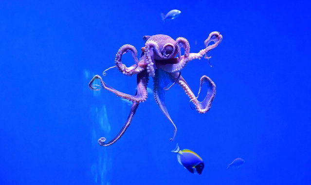"""A day octopus, also known as the big blue octopus, found in both the Pacific and Indian Oceans, is seen at the Aquarium of the Pacific in Long Beach, California on May 27, 2021, during a media preview of the indoor exhibition """"Coral Reefs: Nature's Underwater Cities"""". """"Coral Reefs: Nature's Underwater Cities"""" opens to the public on May 28, 2021 through April 2022, spotlighting the importance of coral reefs to the planet and marine environment. (Photo by Frederic J. Brown/AFP Photo)"""